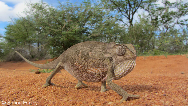Chameleon - Limpopo-Lipadi Private Game Reserve, Botswana