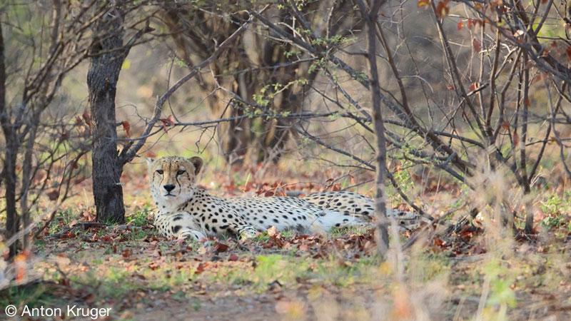 Cheetah - Limpopo-Lipadi Private Game Reserve, Botswana