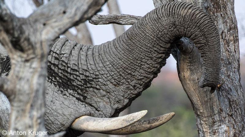 Elephant - Limpopo-Lipadi Private Game Reserve, Botswana