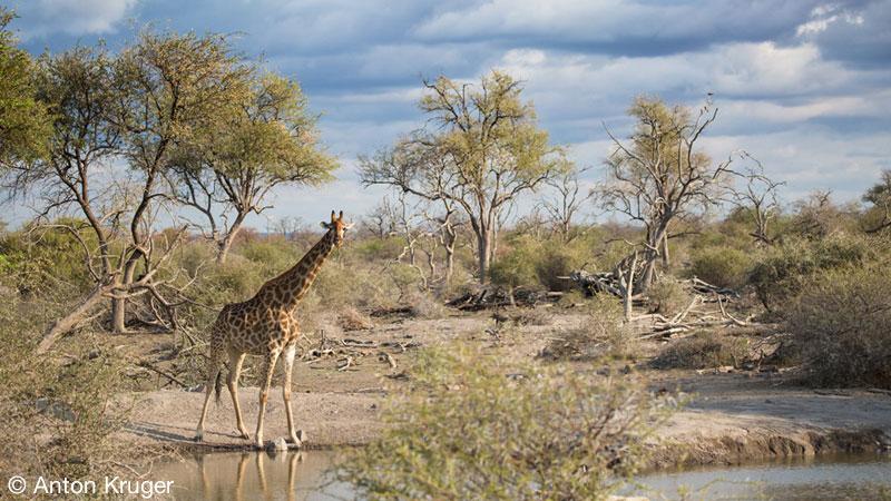 Giraffe - Limpopo-Lipadi Private Game Reserve, Botswana