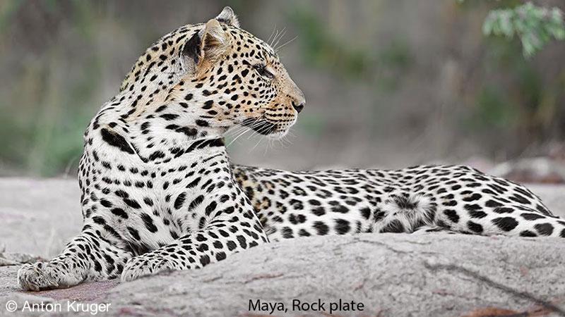 Leopard - Limpopo-Lipadi Private Game Reserve, Botswana