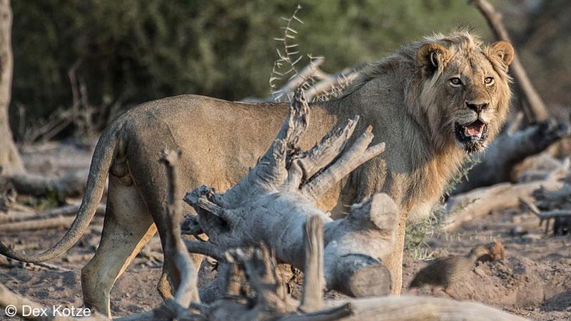 Lion - Limpopo-Lipadi Private Game Reserve, Botswana