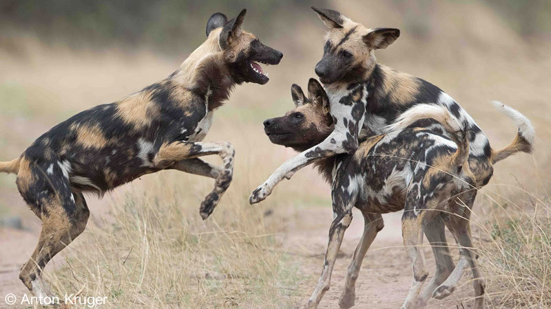 Wild Dogs - Limpopo-Lipadi Private Game Reserve, Botswana